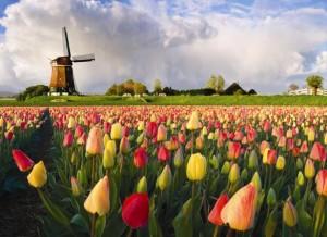 Molinos y Tulipanes en Holanda